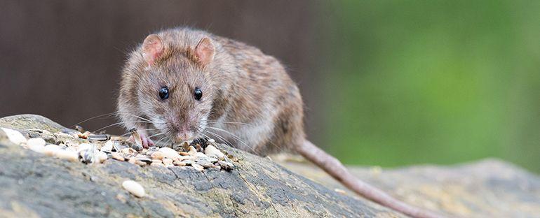 Enfermedades causadas por las ratas