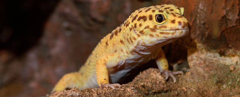 Curiosidades sobre los geckos