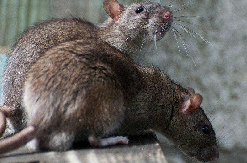 Control de Ratas en Costa Rica