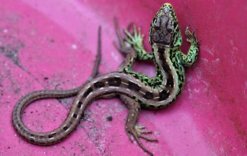 Lo negativo y positivo de los Geckos