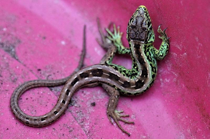 Lo Negativo Y Positivo De Los Geckos Fumigadora Alto